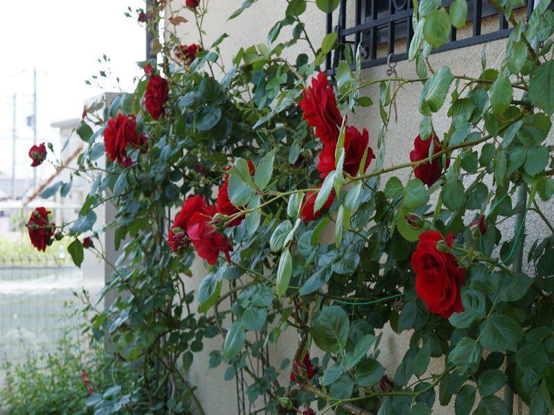 大輪の真紅の薔薇