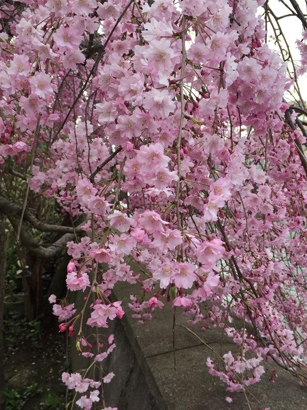 金沢浅野川の枝垂れ桜
