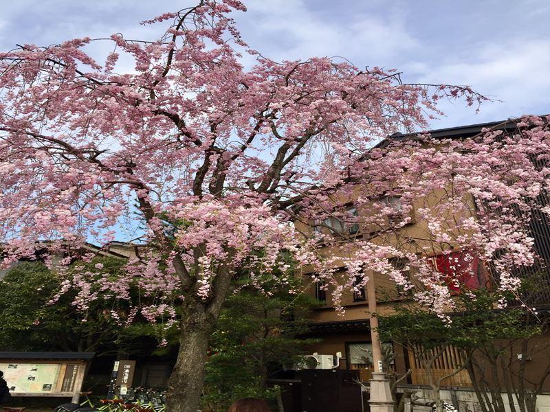 金沢浅野川の桜