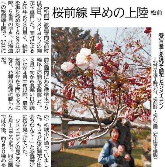 20190422松前サクラ開花