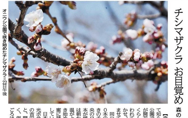 20190422森チシマザクラ開花