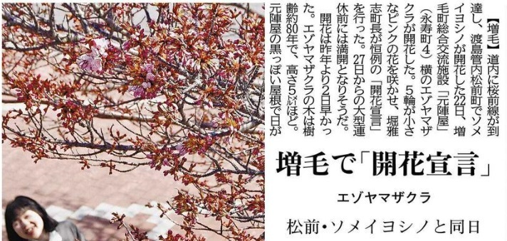 20190422増毛エゾヤマザクラ開花
