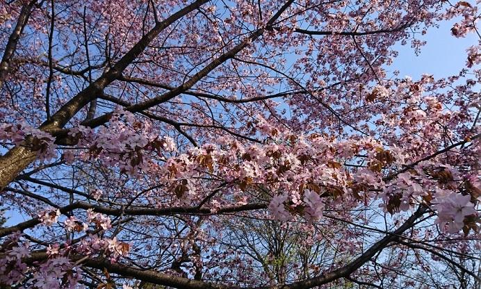 20190429青空と満開の桜