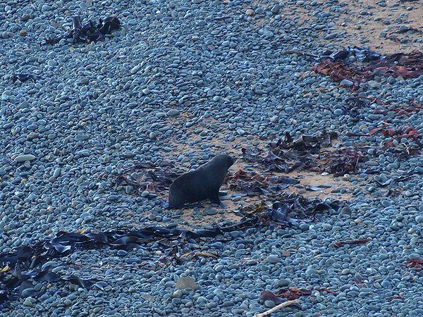 イエローアイドペンギンコロニーにいたオットセイ