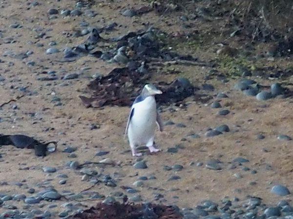 イエローアイドペンギン