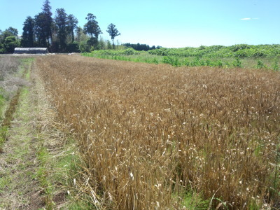 小麦の収穫