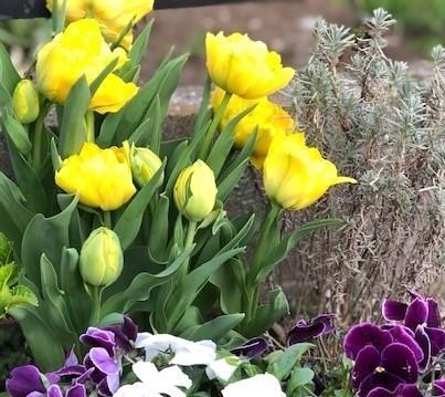tulip2 (3)