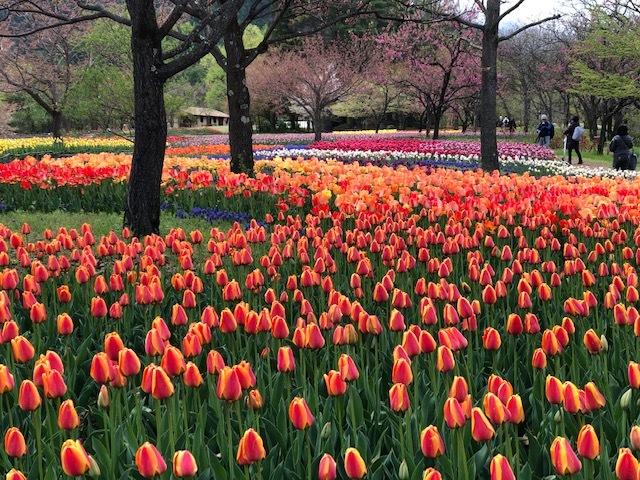 az_tulip.jpg