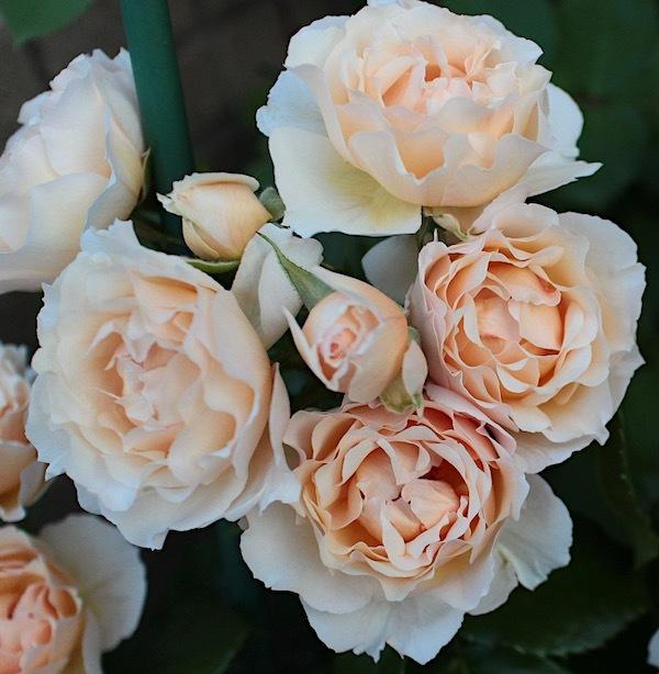 2019-0511-Rose05.jpg