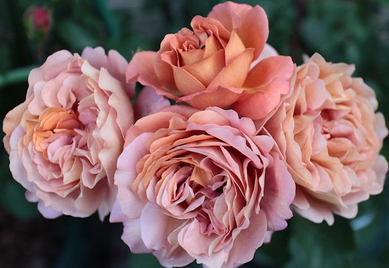 2019-0511-Rose07.jpg