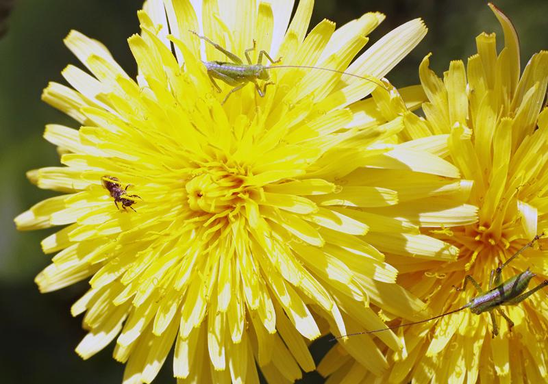 花タンポポと虫