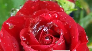 ズームした薔薇レッド