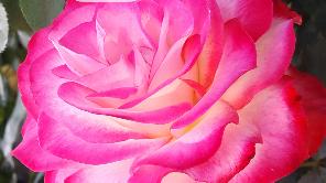 ズームした薔薇ピンク