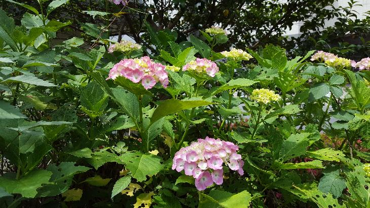 2019年6月4日紫陽花