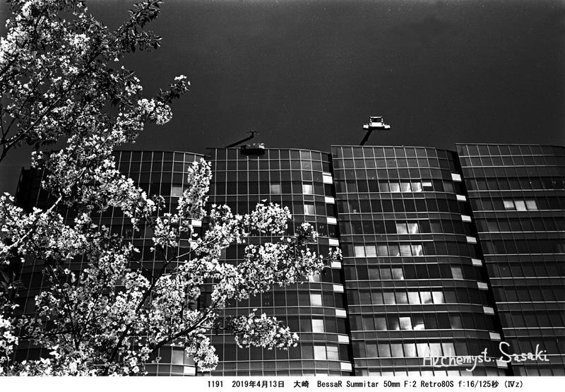 残り桜・大崎1191-3