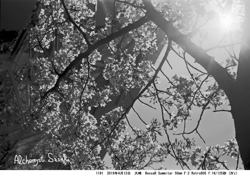 残り桜・大崎1191-12