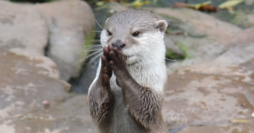 praying_otter