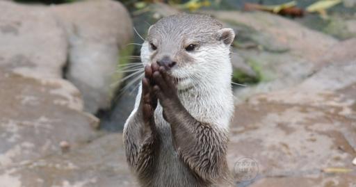 praying_otter