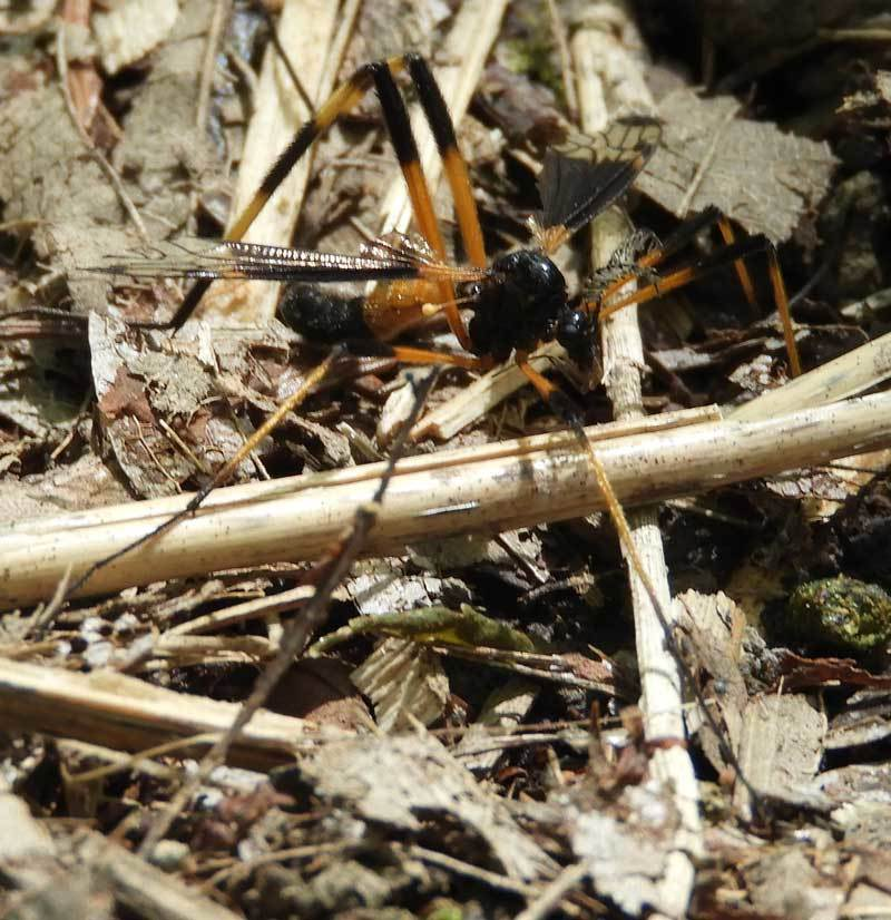 不明のハチ