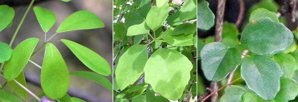 アケビ科3種葉比較