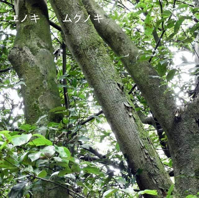 エノキとムクノキの樹皮