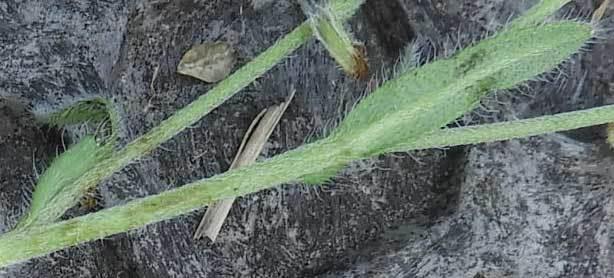 ハマワスレナグサ葉