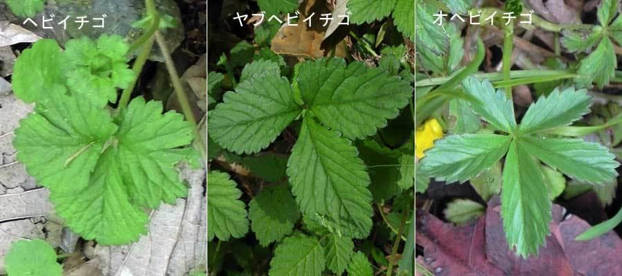 ヘビイチゴ葉の比較
