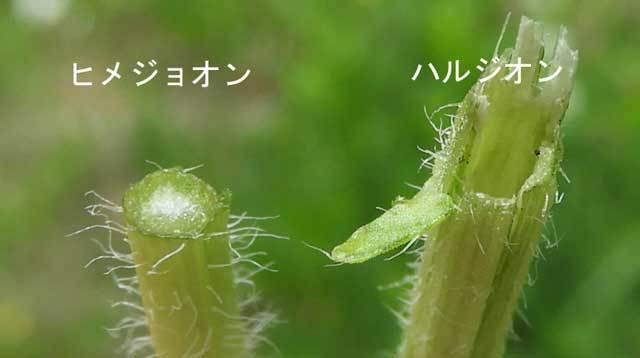 ヒメジョオンとハルジオン茎比較