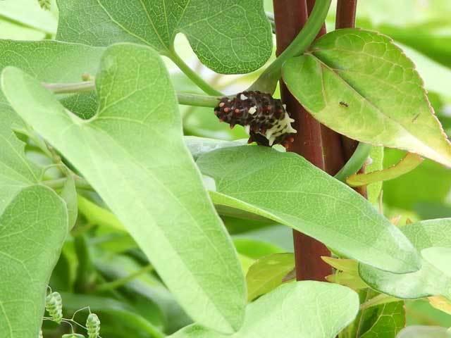 ジャコウアゲハ幼虫とウマノスズクサ