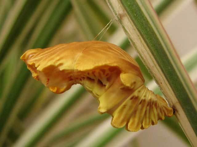 ジャコウアゲハ蛹(おきくむし)