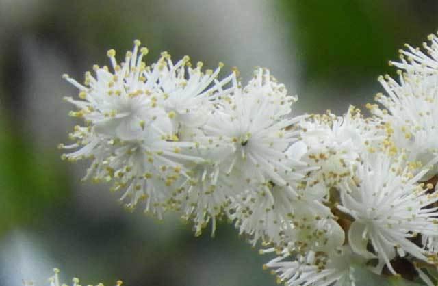 クロバイの花序