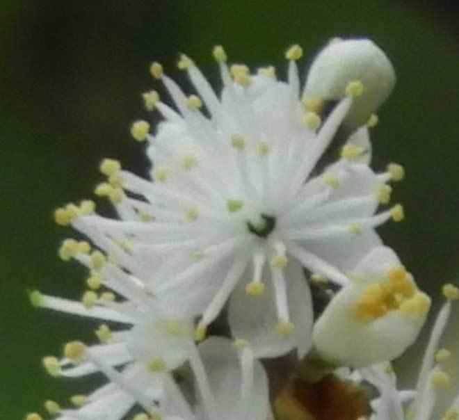 クロバイ花のアップ