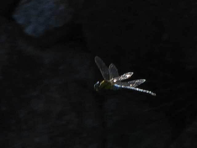 クロスジギンヤンマ飛翔