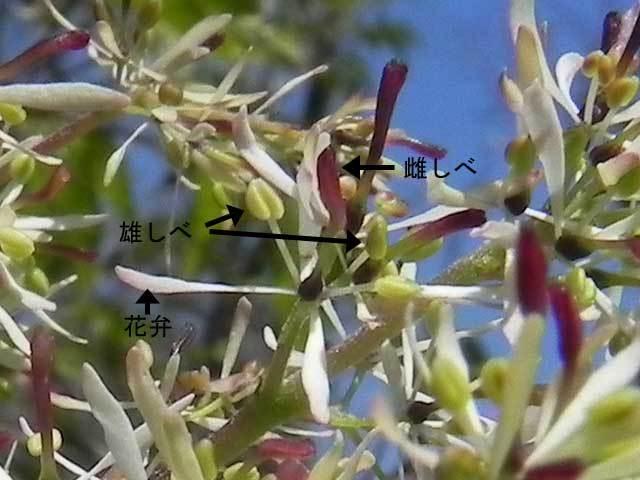 マルバアオダモ雌花