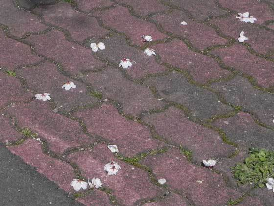 落桜花(スズメの食痕)