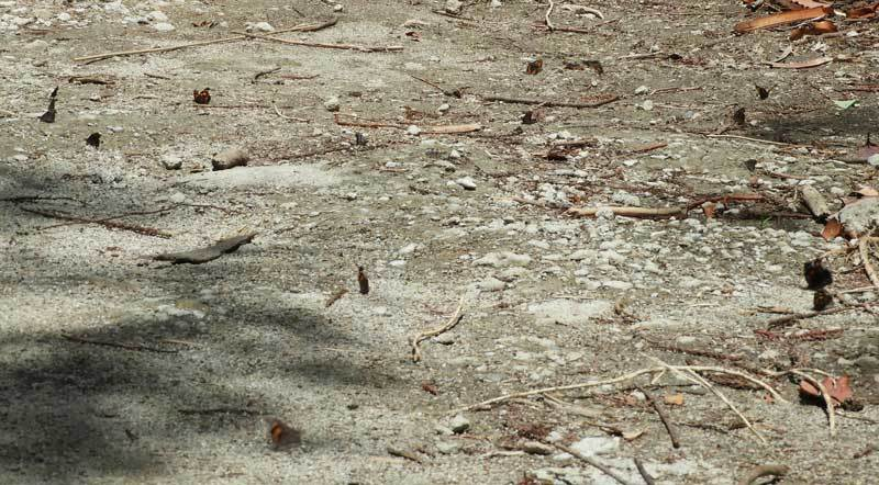 テングチョウ集団吸水