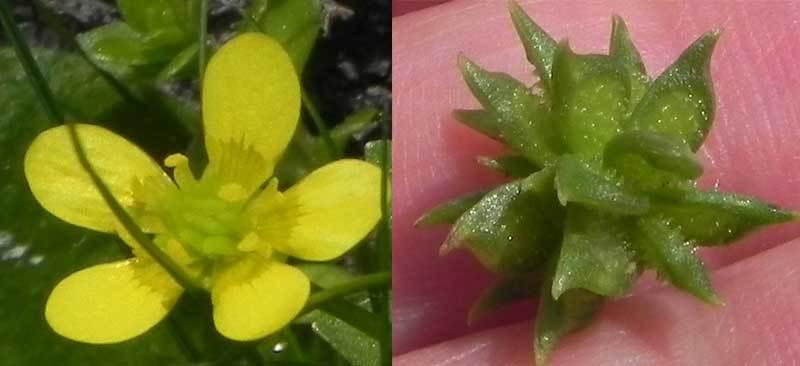 トゲミノキツネノボタン花と実