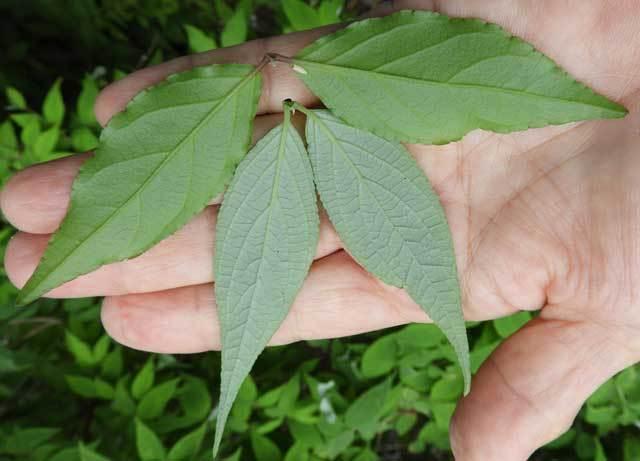 ウラジロウツギ葉