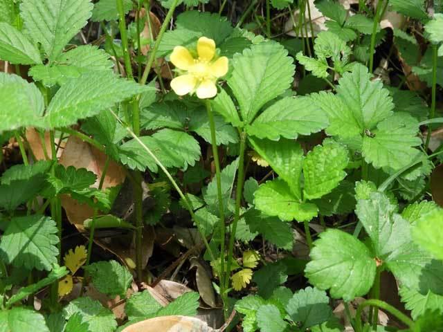 ヤブヘビイチゴ花