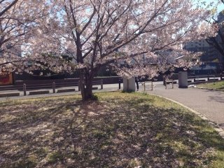 ホンに今年は長持ち桜吹雪