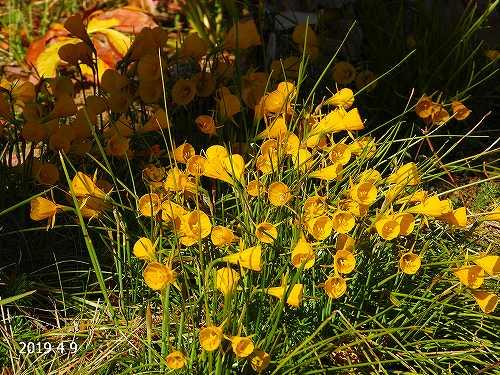s-黄色の花20190409