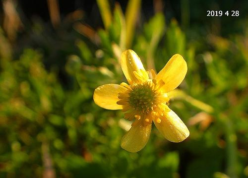 s-黄色の花20190420