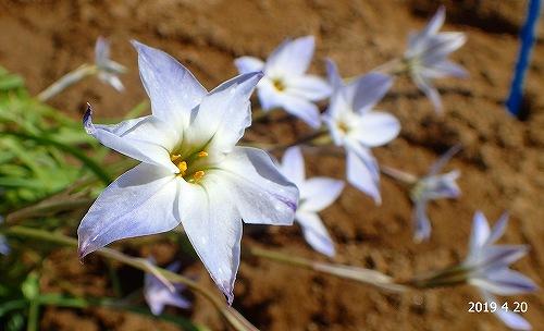 s-白い花20190420