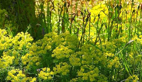s-黄色の花②