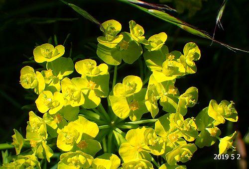 s-黄色の花20190502