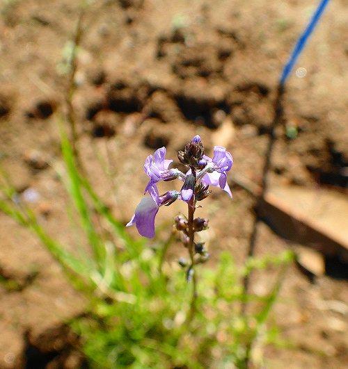 s-紫の花③20190502