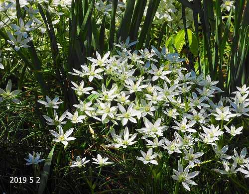 s-白い花20190502