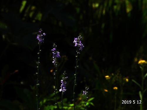 s-紫の花20190512