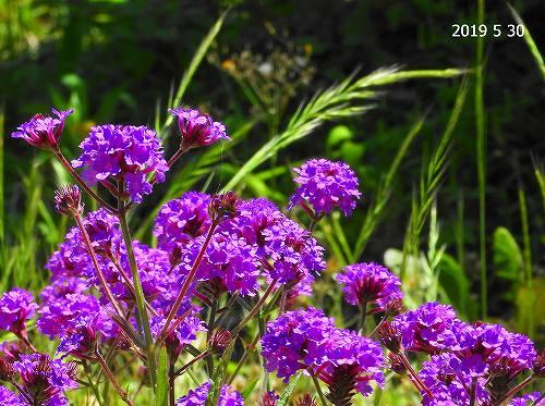 s-紫の花20190530