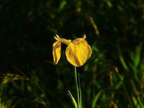 s-黄色の花20190604
